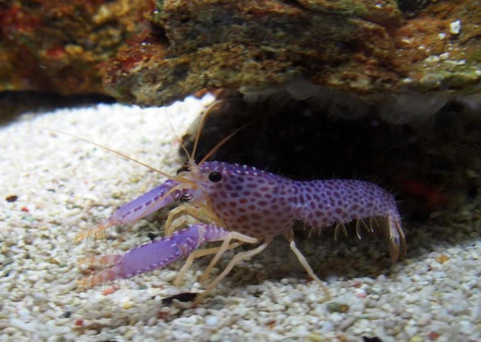 Tiny lobster anyone?