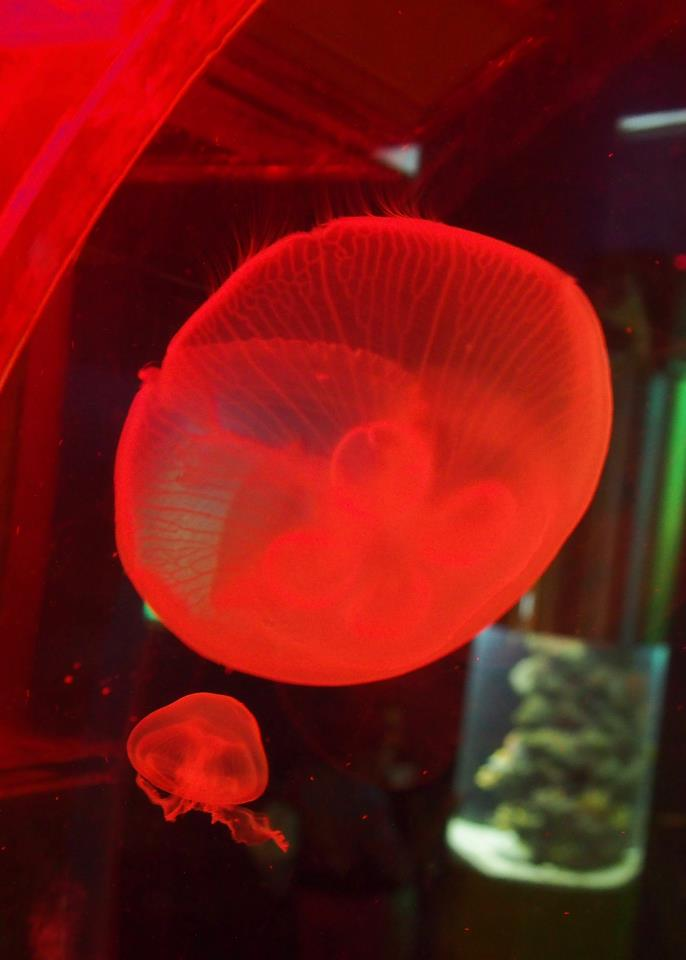 Red jellyfish, and contrary to popular belief they are not the cause the natural phenomenon known as red tide (which is actually caused by algae)